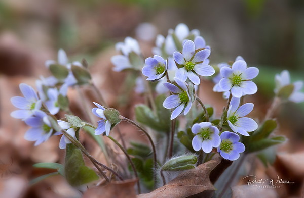 Hepatica Bunch