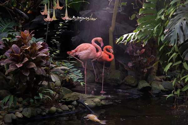Pink Flamingos, Victoria Butterfly Gardens