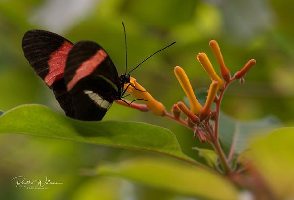 Postman Butterfly (Heliconius melpomene), Victoria Butterfly Gardens