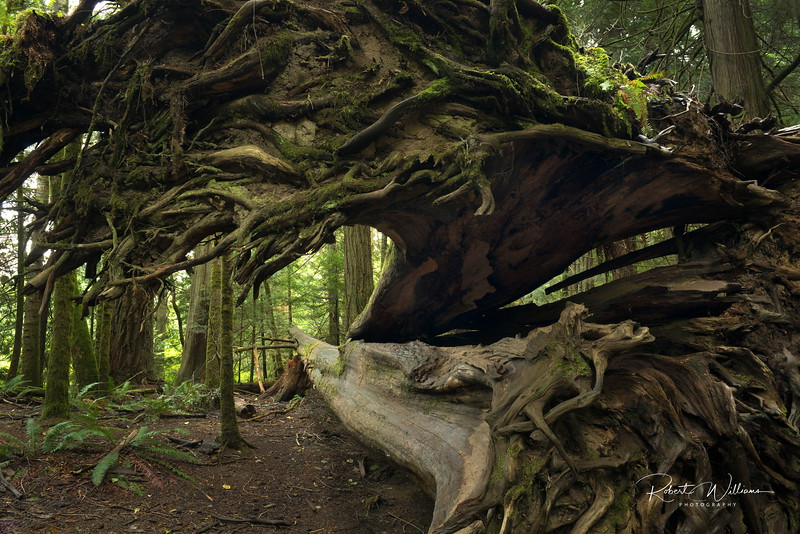 Tree Roots, Cathedral Grove