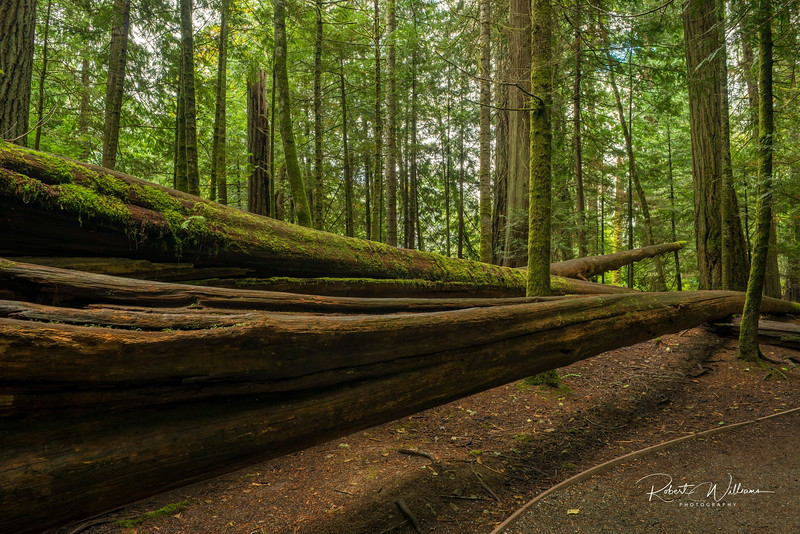 Fallen Tree, Cathedral Grove