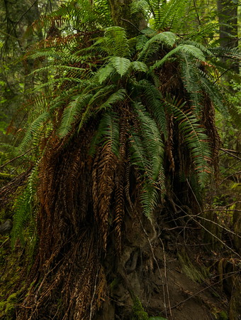 Ferns, Cathedral Grove