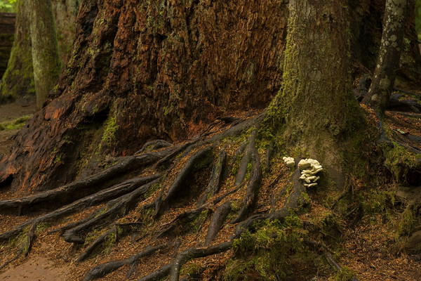 Fungus on Tree Roots, Cathedral Grove