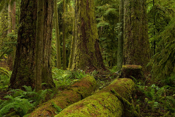 Moss on Douglas Fir Trees, Cathedral Grove