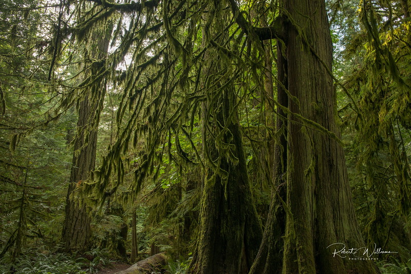 Moss on Red Cedar Trees, Cathedral Grove