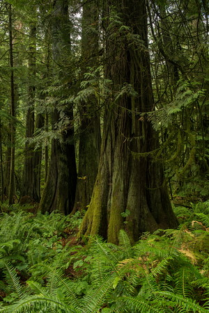 Cedars, Cathedral Grove