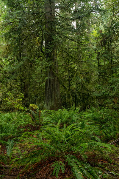Red Cedar and Ferns, Cathedral Grove