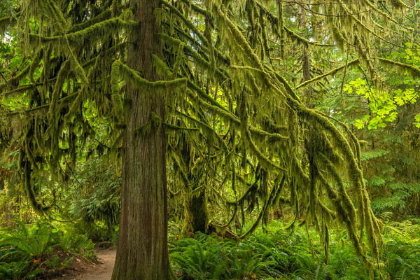 Moss on Trees, Cathedral Grove