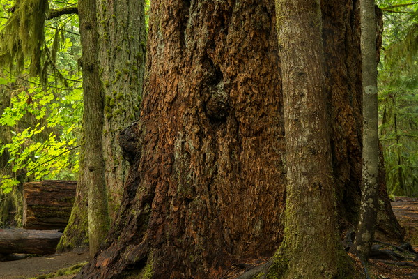 Doublas Fir Tree, Cathedral Grove