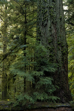 Douglas Fir, Cathedral Grove