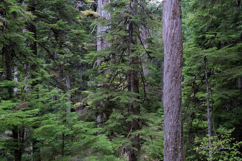 Forest near Lady Falls, Strathcona Park BC