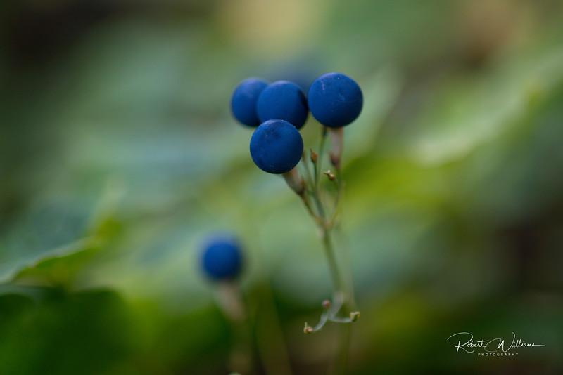 Blue Cohosh (Caulophyllum giganteum)
