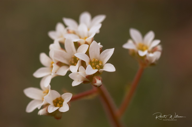 Early Saxifrage