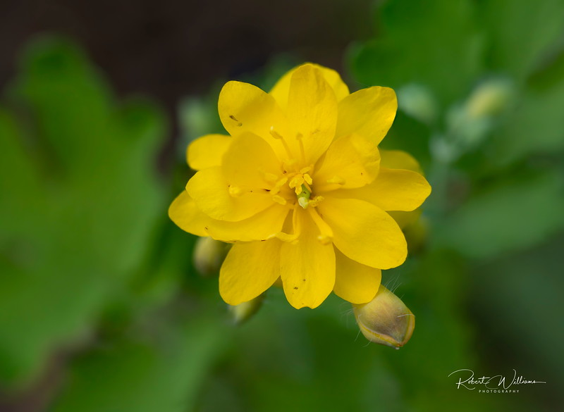 Greater Celandine: Double-flowered form