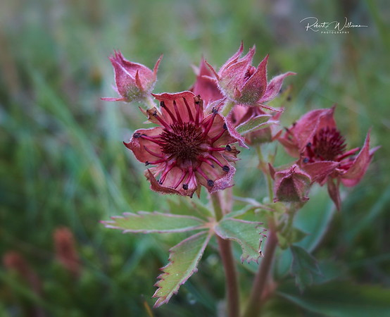 Marsh Cinquefoil (Potentilla palustris)