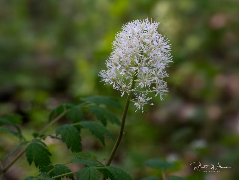 Red Baneberry flower