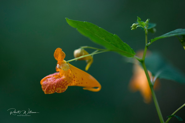 Spotted Touch-me-not (Jewelweed)