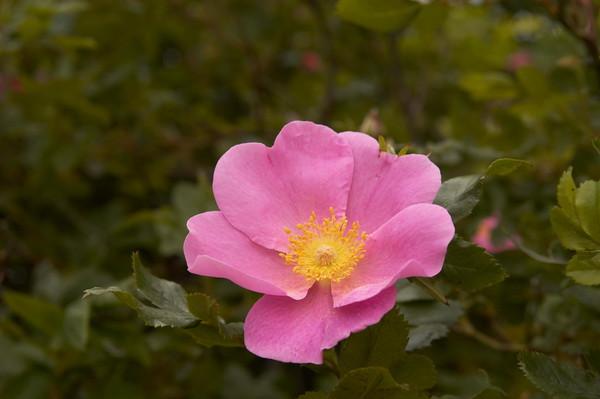 Virginia Rose