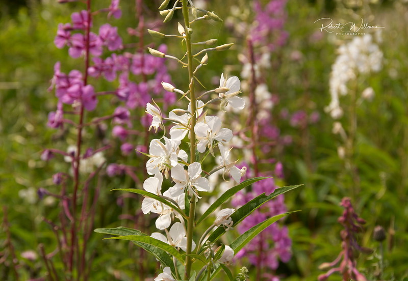 White Fireweed