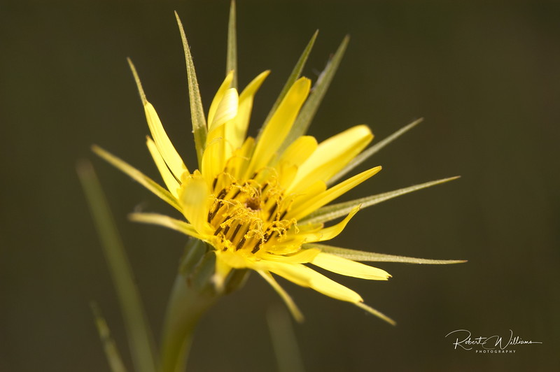 Yellow Goatsbeard