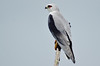 Black Shoulder Kite by NoelCM