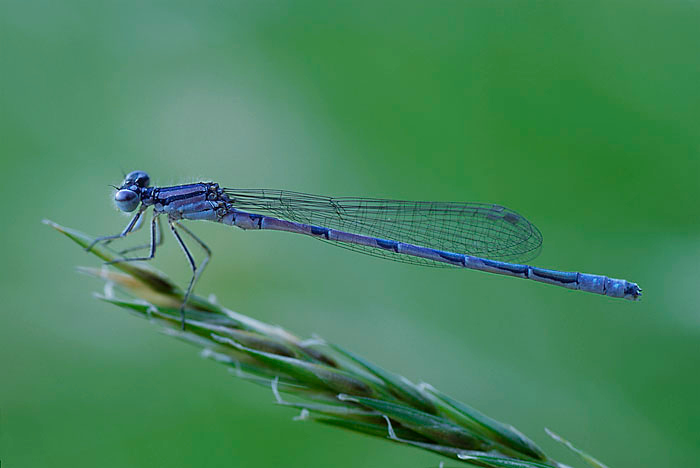 "<a href=""http://www.photographycorner.com/forum/showthread.php?t=690"">Damselfly</a> by <a href=""http://www.photographycorner.com/forum/member.php?u=54"">aleveson</a>"