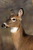 "<a href=""http://www.photographycorner.com/forum/showthread.php?t=2687"">Deer Posing</a> by <a href=""http://www.photographycorner.com/forum/member.php?u=129"">GREAPER</a>"