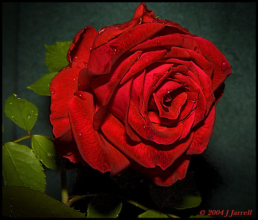 """<a href=""""http://www.photographycorner.com/forum/showthread.php?t=283"""">The Rose</a> by <a href=""""http://www.photographycorner.com/forum/member.php?u=25"""">jj</a>"""