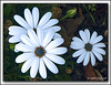 "<a href=""http://www.photographycorner.com/forum/showthread.php?t=212"">Daisies Outside the House</a> by <a href=""http://www.photographycorner.com/forum/member.php?u=25"">jj</a>"