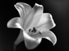 "<a href=""http://www.photographycorner.com/forum/showthread.php?t=977"">Black & White Flower</a> by <a href=""http://www.photographycorner.com/forum/member.php?u=176"">photoman</a>"