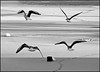 """<a href=""""http://www.photographycorner.com/forum/showthread.php?t=5608"""">Birds Looking for Food Above the Frozen Water</a> by <a href=""""http://www.photographycorner.com/forum/member.php?u=1446"""">Irma</a>"""