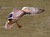 "<a href=""http://www.photographycorner.com/forum/showthread.php?t=29192"">Flaps, Undercarriage, Beak-on, Clear to Land</a> by <a href=""http://www.photographycorner.com/forum/member.php?u=5555"">Raymond</a>"