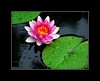 "<a href=""http://www.photographycorner.com/forum/showthread.php?t=37582"">Water Lily</a> by <a href=""http://www.photographycorner.com/forum/member.php?u=2752"">alyeska41</a>"