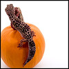 """<a href=""""http://www.photographycorner.com/forum/showthread.php?t=48280"""">Leopard on a Pumpkin</a> by <a href=""""http://www.photographycorner.com/forum/member.php?u=2387"""">Tlemetry</a>"""