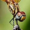 "<a href=""http://www.photographycorner.com/forum/showthread.php?t=47275"">Dragonfly Portrait</a> by <a href=""http://www.photographycorner.com/forum/member.php?u=3140"">ndroo</a>"
