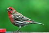 "<a href=""http://www.photographycorner.com/forum/showthread.php?t=34882"">House Finch</a> by <a href=""http://www.photographycorner.com/forum/member.php?u=416"">DDAY</a>"