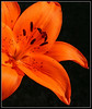 "<a href=""http://www.photographycorner.com/forum/showthread.php?t=31517"">Orange Lily</a> by <a href=""http://www.photographycorner.com/forum/member.php?u=6429"">katri</a>"