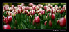 """<a href=""""http://www.photographycorner.com/forum/showthread.php?t=30799"""">Tulip Festival</a> by <a href=""""http://www.photographycorner.com/forum/member.php?u=3534"""">MmcFloyd</a>"""
