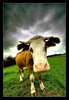 "<a href=""http://www.photographycorner.com/forum/showthread.php?t=42086"">A Norfolk Cow!</a> by <a href=""http://www.photographycorner.com/forum/member.php?u=6164"">Oneof42</a>"