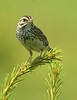 Savannah Sparrow by Tyger