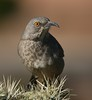 Curve Billed Thrasher by DigitalDave