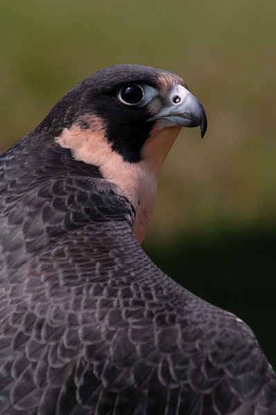 A Peregrine Falcon by GREAPER