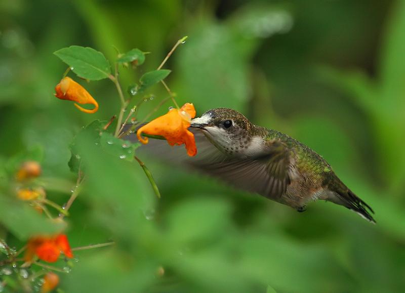 First Hummingbird Captures by Tyger