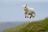 Spring Lamb by richard peters