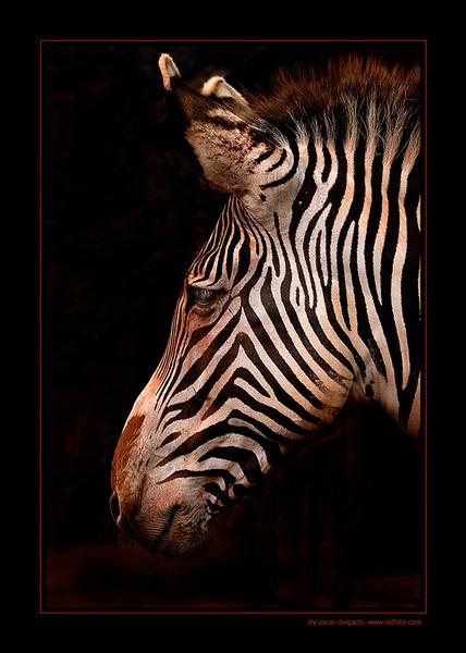 Zebra Profile by oscarpopov