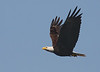 Eagle in Flight by squirl033