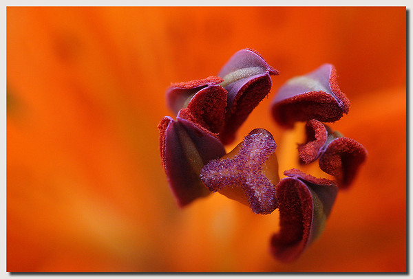 Orange Flower by sachin