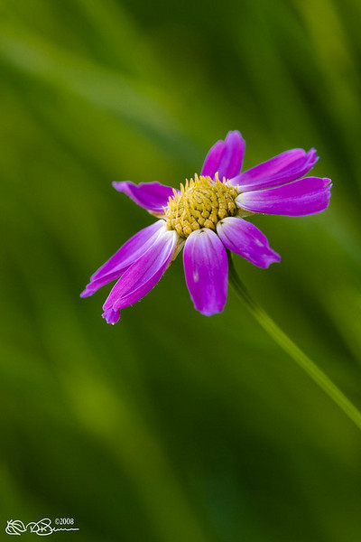 Coreopsis by RogersDA