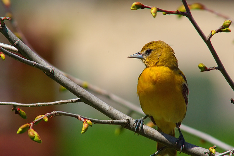 Young Oriole by DDAY