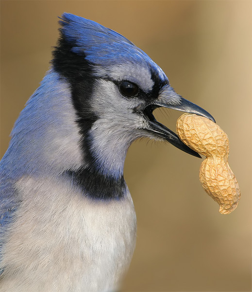 A Bluejay and His Peanut by Tyger